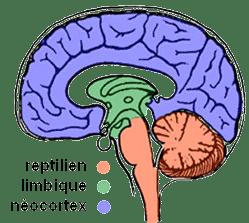 cerveau limbique et reptilien
